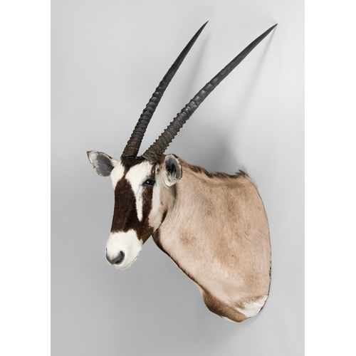 31 - A TAXIDERMY ORYX SHOULDER MOUNT WITH DETACHABLE HORNS Namibia June 2005. Taxidermist Nyati Wildlife ...