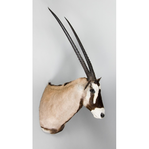 33 - A TAXIDERMY ORYX SHOULDER MOUNT WITH DETACHABLE HORNS Namibia May 2007. Taxidermist Nyati Wildlife A...