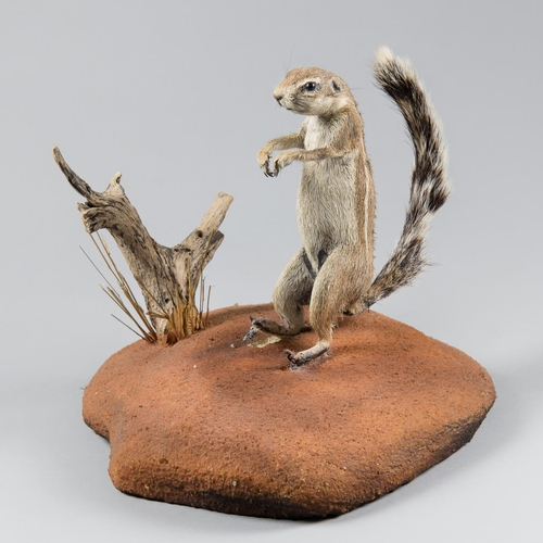34 - A TAXIDERMY GROUND SQUIRREL FULL MOUNT UPON A NATURALISTIC BASE Namibia June 2005. Taxidermist Nyati...