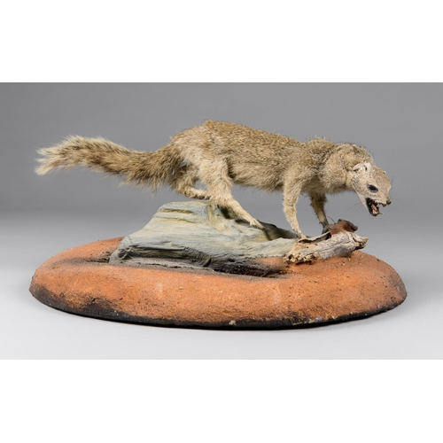 37 - A TAXIDERMY MONGOOSE FULL MOUNT UPON A NATURALISTIC BASE Namibia June 2005. Taxidermist Nyati Wildli...