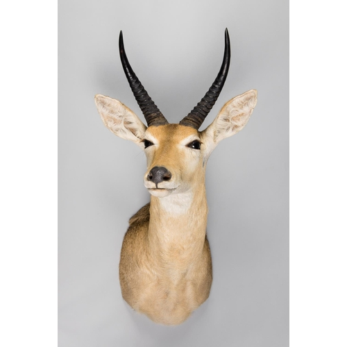 4 - A TAXIDERMY SOUTHERN REEDBUCK SHOULDER MOUNT Zambia 2003. Documentation: Export Permit. (h 89cm x w ...