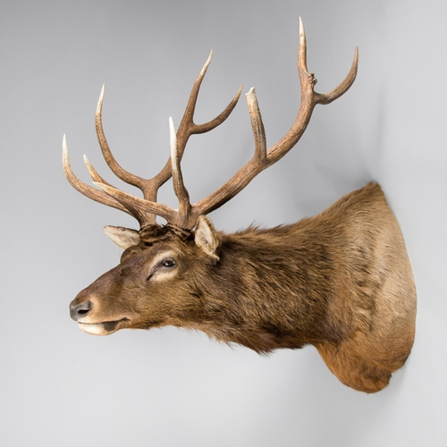 50 - A LARGE AND IMPRESSIVE TAXIDERMY ELK SHOULDER MOUNT May 2006, Idaho USA. Antlers detach. (h 140cm x ...
