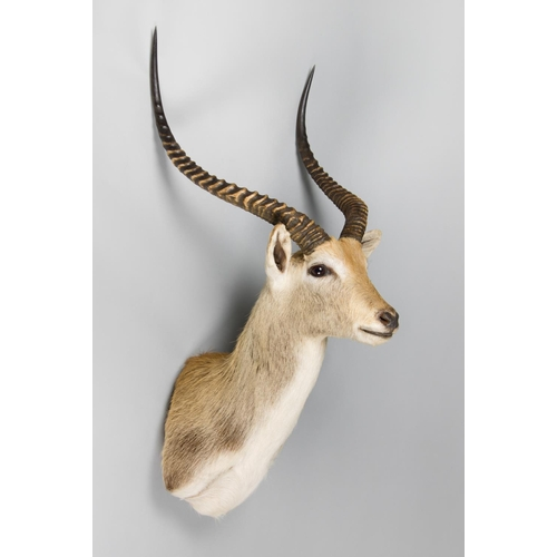 56 - A TAXIDERMY KAFUE LECHWE SHOULDER MOUNT Zambia September 2007. Taxidermist Bangweulu Taxidermy. (h 1...
