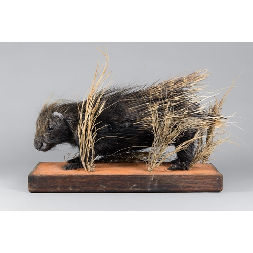 61 - A TAXIDERMY PORCUPINE FULL MOUNT UPON A NATURALISTIC BASE Namibia October 2006. Taxidermist Nyati Wi...