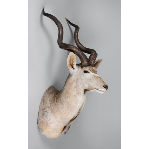 7 - A LARGE AND IMPRESSIVE TAXIDERMY KUDU SHOULDER MOUNT Namibia September 2008. Taxidermist Nyati Wildl...