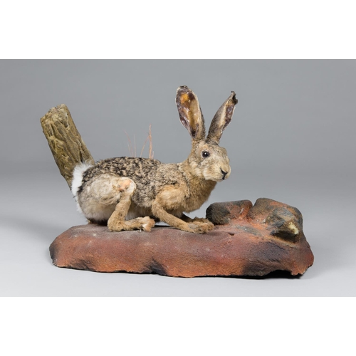 9 - A TAXIDERMY AFRICAN SAVANNA HARE FULL MOUNT UPON A NATURALISTIC BASE Namibia June 2005. Taxidermist ...