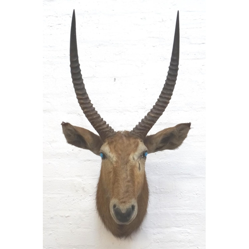 465 - TAXIDERMY MOUNTED LARGE AFRICAN ANTELOPE head and neck with twisted shaped horns, 112cm high...
