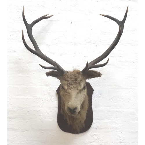 468 - TAXIDERMY MOUNTED RED STAG head and neck with eleven points, mounted on a shaped oak shield, 75cm wi...
