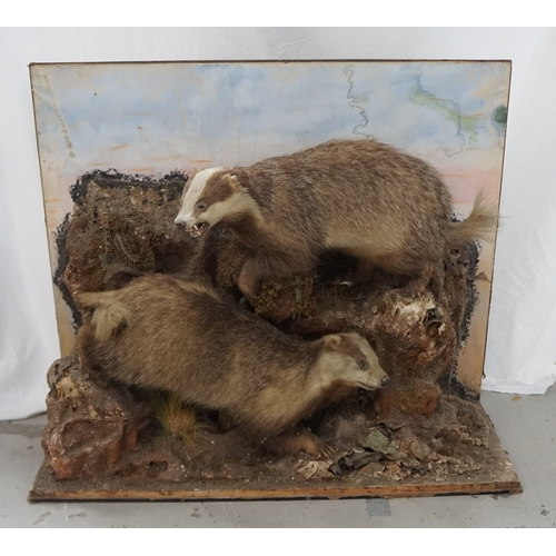 449 - EARLY 20TH CENTURY TAXIDERMY BADGERS mounted in a naturalistic setting, one with a snarling open mou...