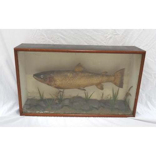452 - EDWARDIAN TAXIDERMY BROWN TROUT in a glass display case with the legend 'Caught by Macpherson in riv...