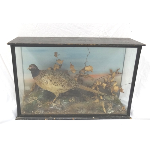 453 - EARLY 20TH CENTURY TAXIDERMY COCK PHEASANT in a naturalistic setting glass case, with a label 'Prese...
