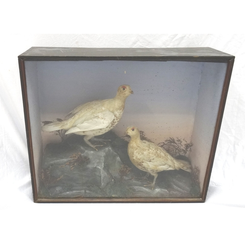 454 - TAXIDERMY COCK AND HEN WINTER GROUSE in a naturalistic setting in a glass case, 48cm x 58.5cm...