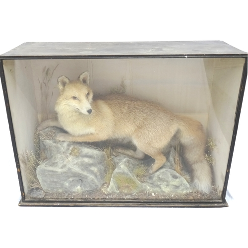 455 - TAXIDERMY STUDY OF A FOX in a naturalistic setting glass case with a trade label 'Preserved by W.A. ...