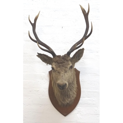 460 - TAXIDERMY MOUNTED RED STAG head and neck with twelve points, mounted on a shaped oak shield, marked ...