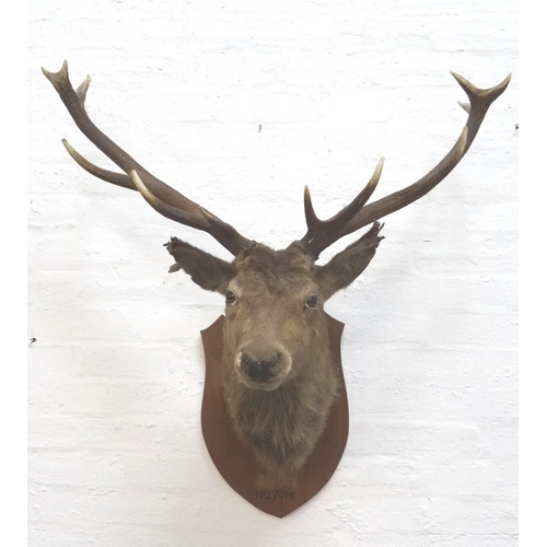 461 - TAXIDERMY MOUNTED RED STAG  head and neck with twelve points, mounted on a shaped oak shield, 95cm w...