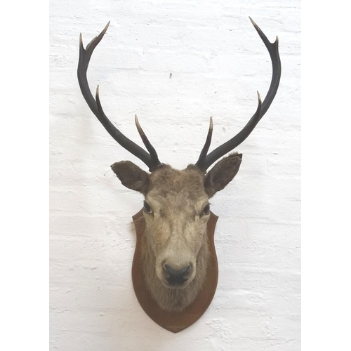 464 - TAXIDERMY MOUNTED RED STAG  head and neck with nine points, mounted on a shaped oak shield marked '-...