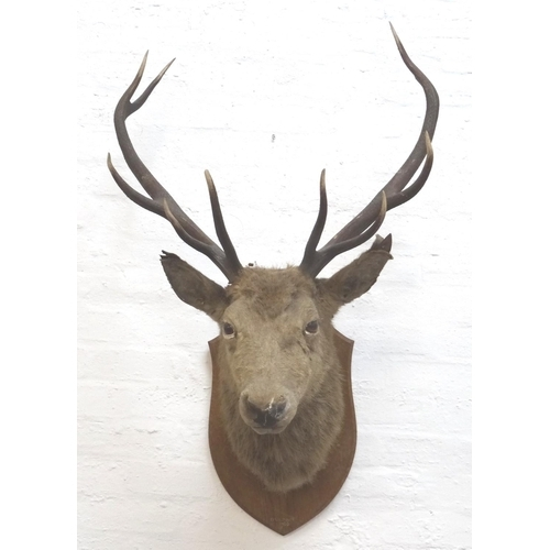 466 - TAXIDERMY MOUNTED RED STAG  head and neck with ten points, mounted on a shaped oak shield marked '- ...