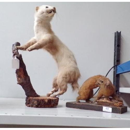 48 - Taxidermy ferret & weasel, both on wooden plinths...