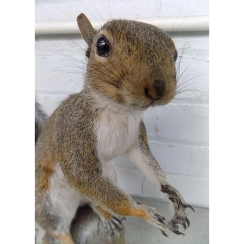58 - Taxidermy squirrel with acorns-excellent condition but missing acorn in hands...