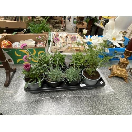 4 - Tray of mixed plants, 2 Verbena, 2 Cosmos, 2 Gazania & 2 Carnations