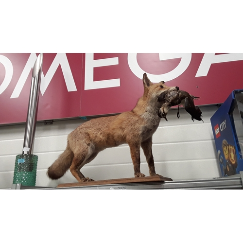 1008 - A taxidermy mounted fox with pigeon in mouth....