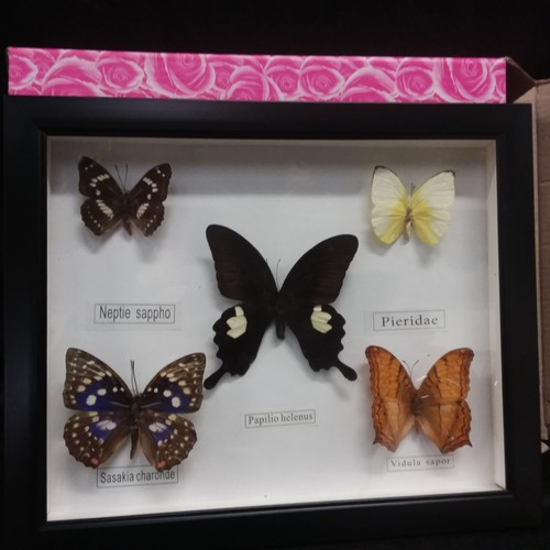 1020 - A small framed taxidermy of butterflies. (182)....