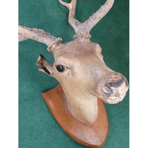361 - A taxidermy deers head.