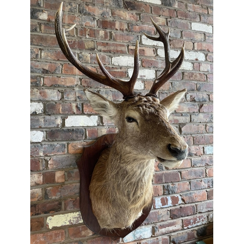 31 - A MOUNTED TAXIDERMY DEER'S HEAD WITH FIVE POINT ANTLERS