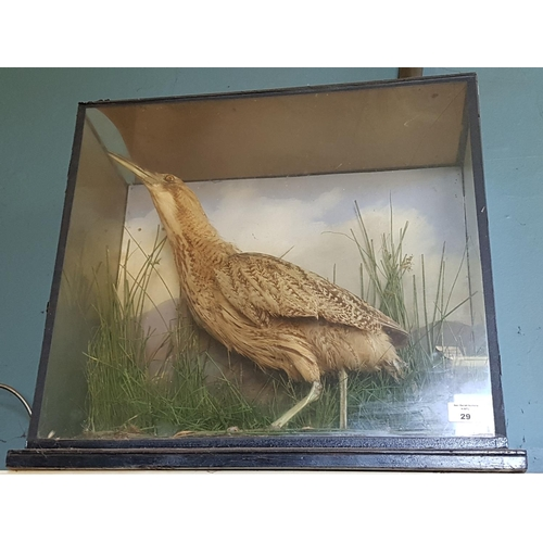 29 - A Taxidermy study of a Yellow Bittern in a naturalistic setting mount by W J Connotty, Dame Street, ...