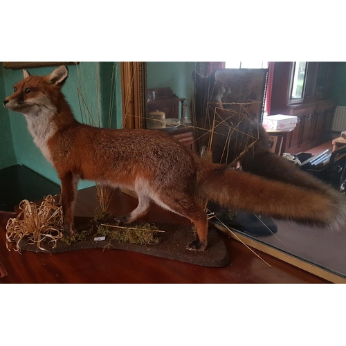 37 - A really good Taxidermy of a Fox killed on the land....