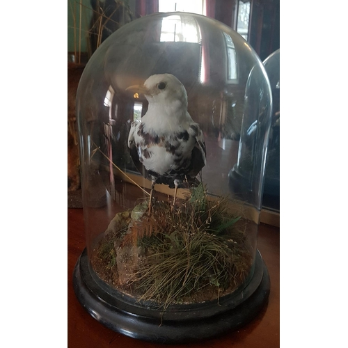 38 - A good 19th Century Taxidermy of a Bird in a glass dome and ebonised base....