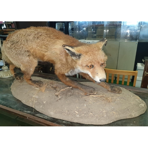 16 - A Taxidermy of a Fox in a naturalistic setting. (1) (9)....