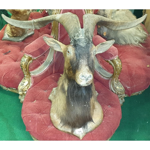 19 - A Taxidermy of a Goat on shield plaque. (1)(9)...