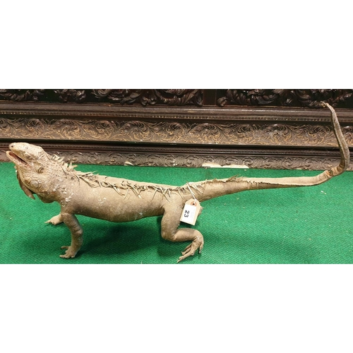 23 - A Taxidermy of a Lizard along with a miniature alligator etc. (3)(9)...