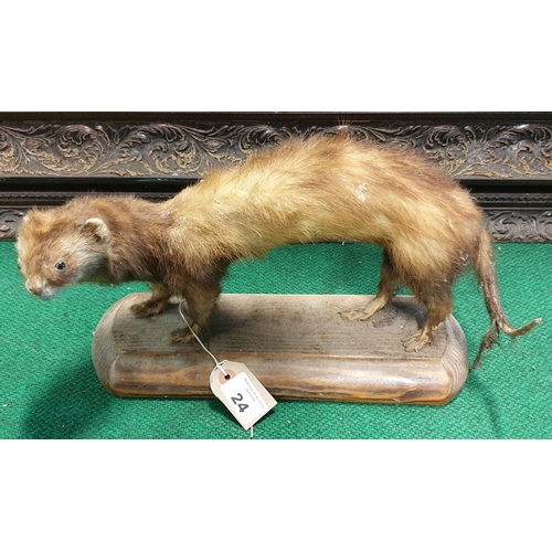 24 - A Taxidermy of a Ferret,  L 40 x H 20cm approx.a foxes skin along with a pheasant  L 66 x H 42cm app...