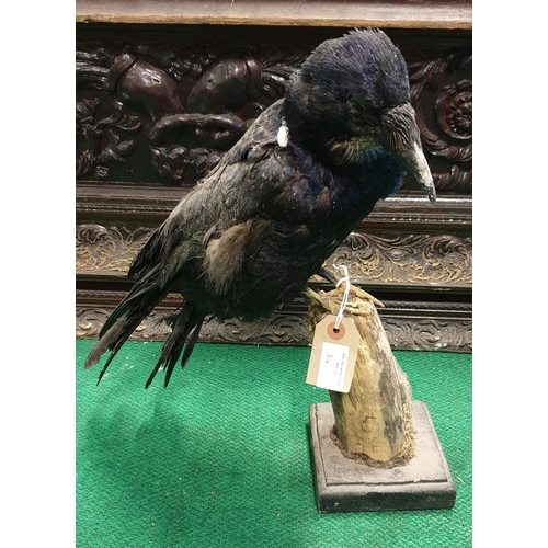 24 - A Taxidermy of a Ferret, a foxes skin along with a pheasant and a crow. (4)(10)...