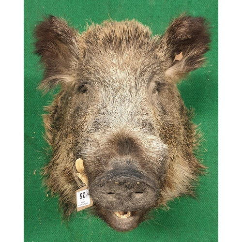 25 - A Taxidermy style of a Boars Head. (1)(10)...