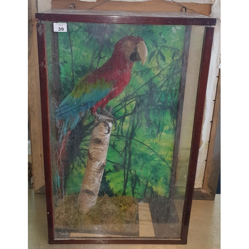 39 - A cased Taxidermy of a Macaw perched on a stump.  W 52 x D 25 x H 83cm approx.(1) (14)....