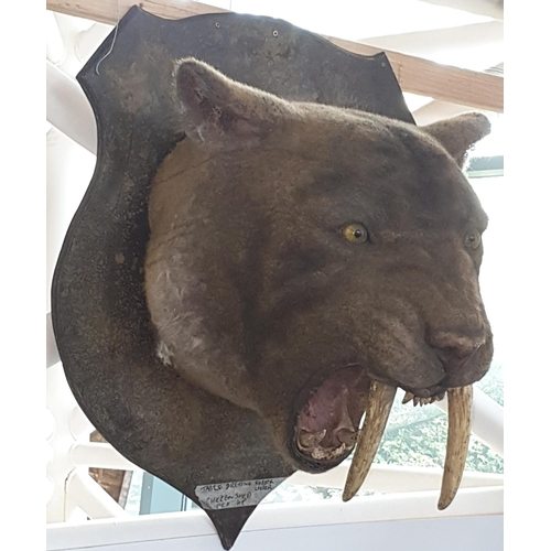 41 - A Taxidermy style head of a Sabre Tooth Tiger on a shield back. Prop. (1) (15)....