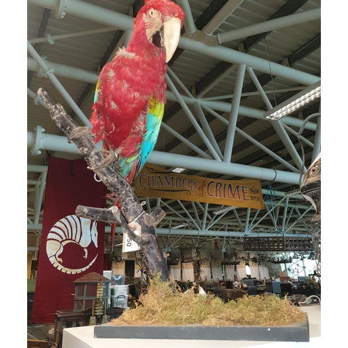 50 - A Taxidermy of a Macaw perched on a branch. H 55cm approx.(1) (22)....