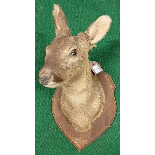 27 - A Taxidermy of a Pikes Head, doe along with a set of horns. (3)(10)...