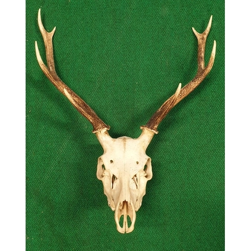 28 - A very large quantity of Antlers (real)along with horns (prop) in one box. (Q)(10)...