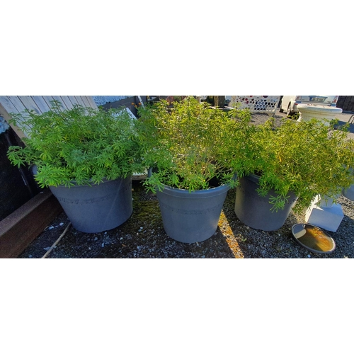 47 - Three very large Plastic Flower Pots with Plants. 58cms diam x 50 cms H....