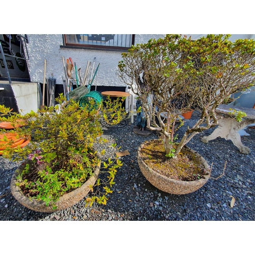 21 - A pair of Bonsai in reconstituted stone pots....