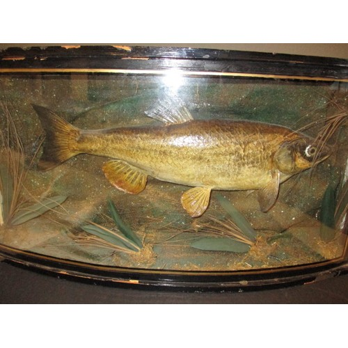 An Edwardian taxidermy fish in bow front glass case, being a skin example of a Chub not plaster, approx. length of fish 46cm, approx. dimensions of case Height 33cm Width 64cm Depth 18cm label verso dated 1907 and giving a weight of 8lb 2oz, case has left side glass missing and general age-related marks
