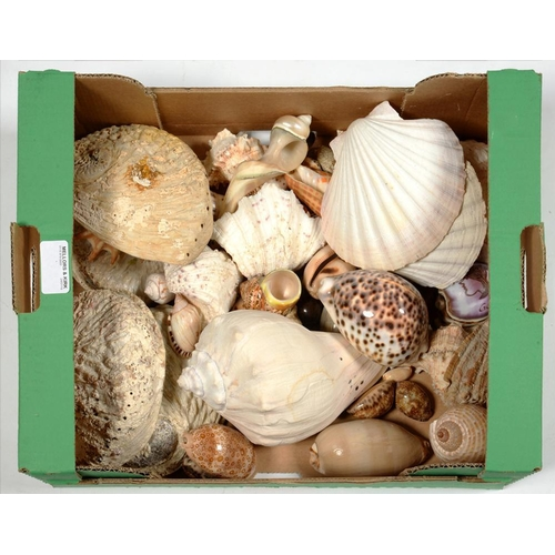 388 - <p>A COLLECTION OF SEASHELLS </p>...