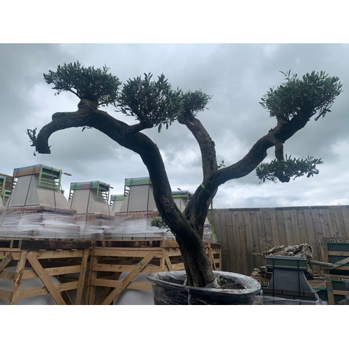 1 - 200 + YEAR OLD IMMACULATELY BALANCED ORNATE HEAVILY BRANCHED DECORATIVE OLIVE MASSIVE BONSAI TREE AP...