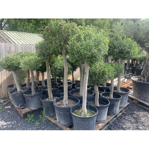 13 - MASSIVE 1.8m -2m TALL APPROX - OLIVE HEAVY POTTED BALL DECORATIVE TREE (IMAGE FOR ILLUSTRATION PURPO...