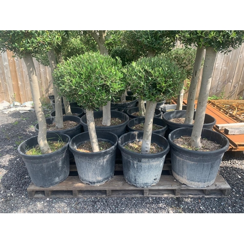 18 - HEAVY TRUNK 1.1M - 1.4M TALL APPROX - POTTED OLIVE BALL DECORATIVE TREE (IMAGE FOR ILLUSTRATION PURP...