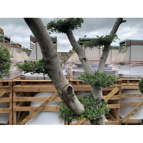 3 - LARGE ORNATE BONSAI CLOUD PLANK  2M TALL DECORATIVE OLIVE TREE IN POT (IMAGE FOR ILLUSTRATION PURPOS...
